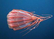 medusas más raras