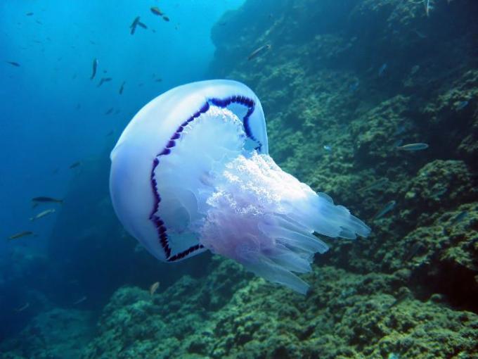 Medusa aguamala