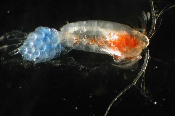 Alimentación de las medusas, foto