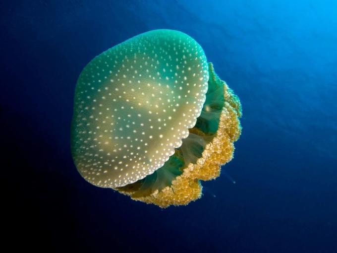 Anatomía de las medusas