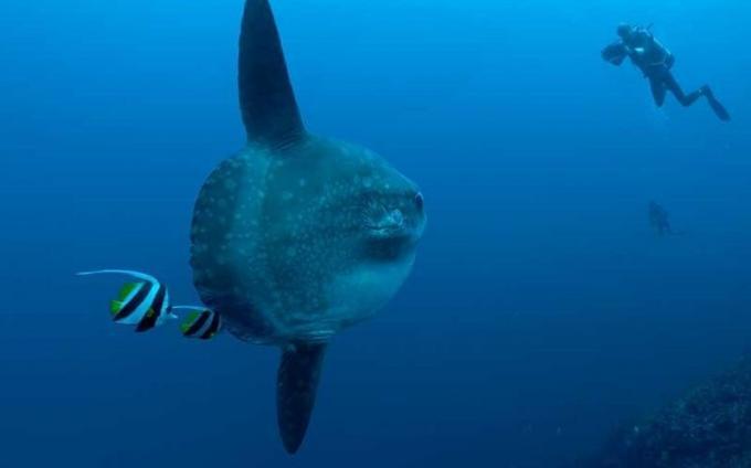 Depredadores de las medusas