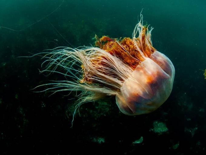 Fondo de escritorio medusa melena de león