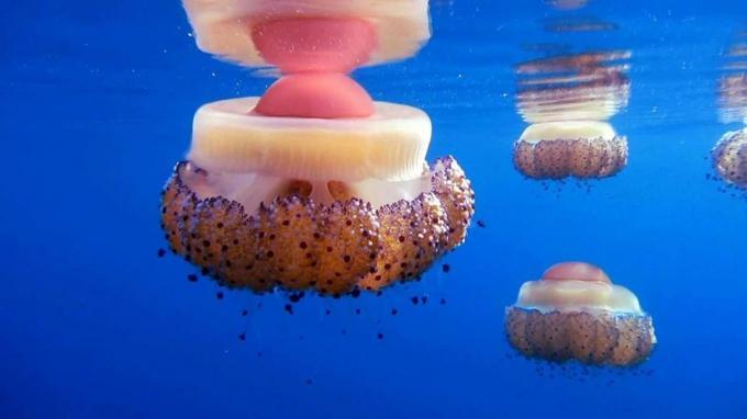 Fondo de escritorio medusas