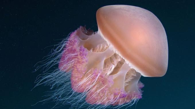 foto de clases de medusas