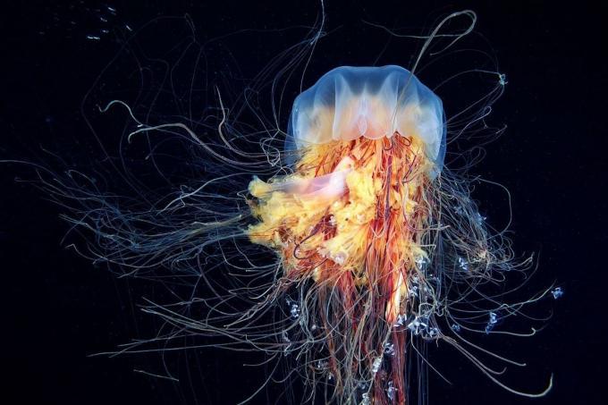 Foto medusas melena de león