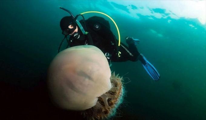 Imagen medusa melena de león