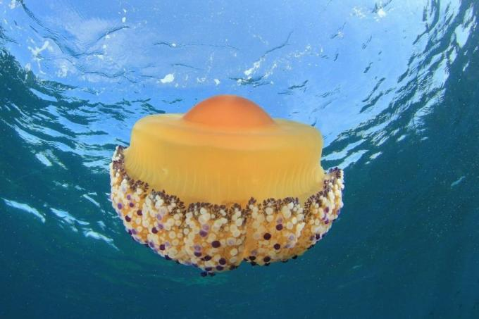Imágenes medusa huevo frito