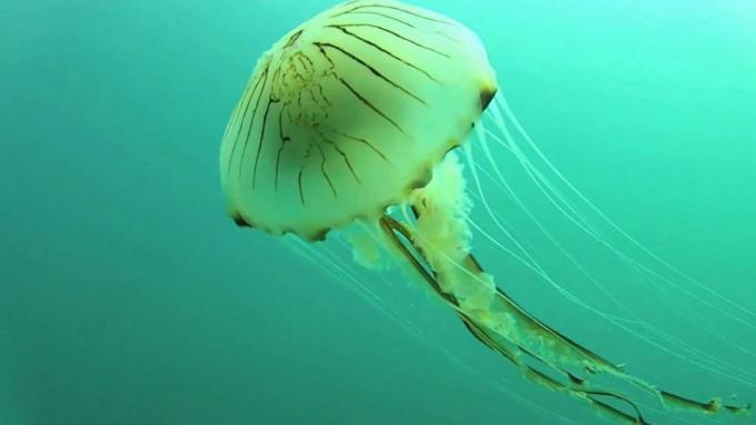 Medusa Aguamar
