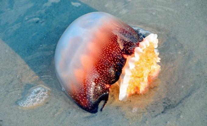 Medusa bola de cañón
