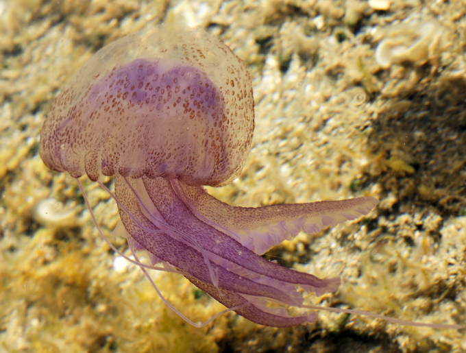 Medusa Clavel
