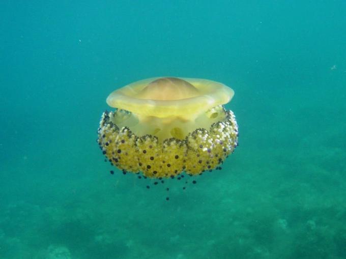 Medusa del Mediterráneo, fotos