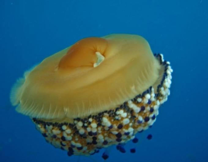 Medusa huevo frito, imagen
