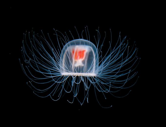 Medusa Inmortal, imagen