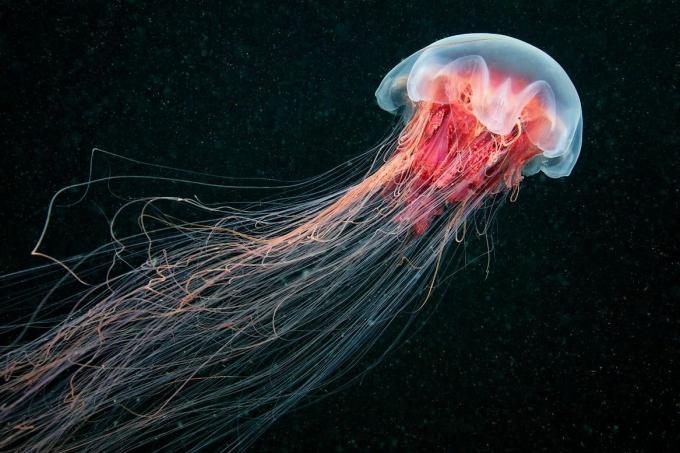 Medusa Melena de león, imágenes