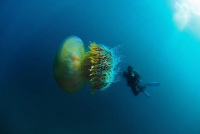 Medusa Nomura, fotos