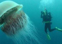 Medusas más grandes
