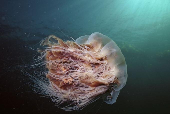 Medusas más grandes, foto