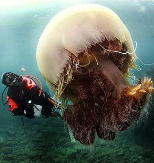 Medusas más grandes, imágenes