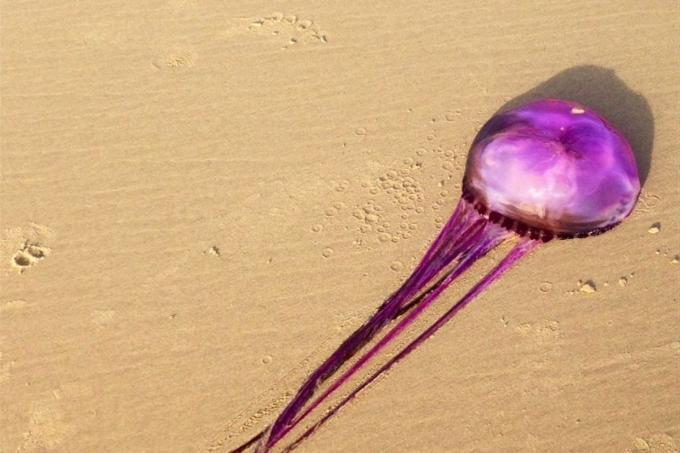 Medusas más raras, foto