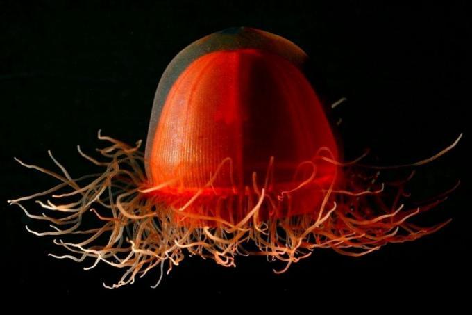 Medusas más raras, fotos