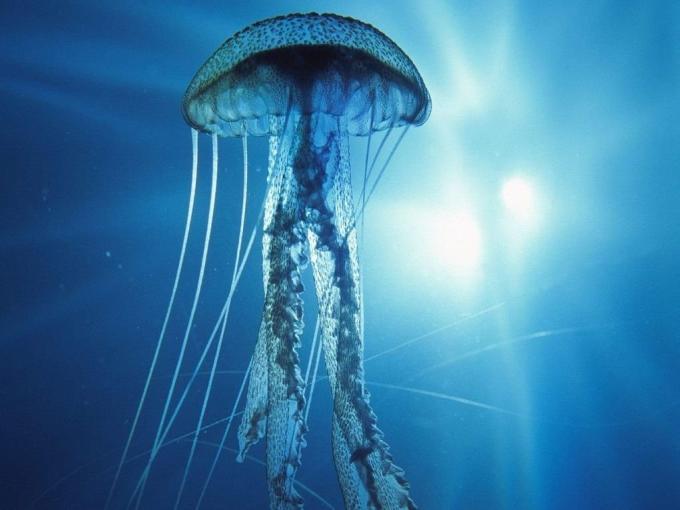 Morfología de las medusas, imágenes