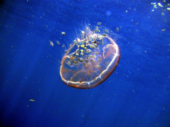 Alimentación medusas