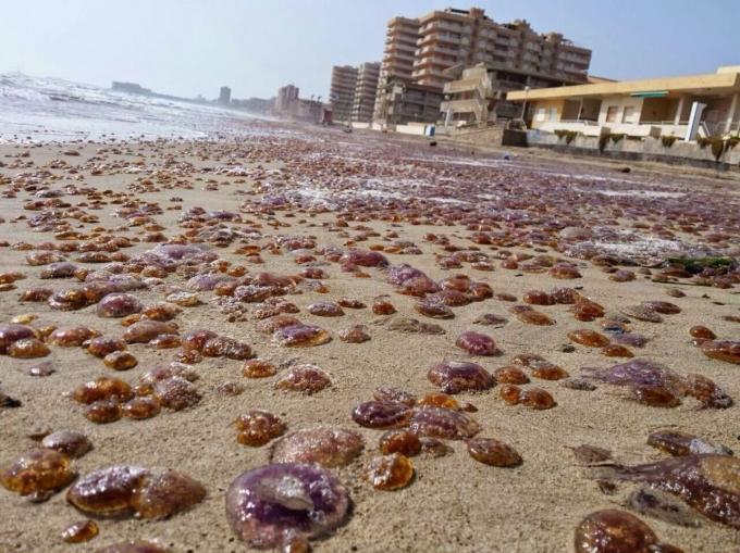 Plagas de medusas
