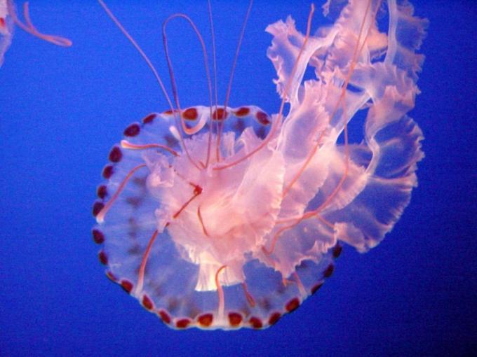 Proceso de respiración medusa